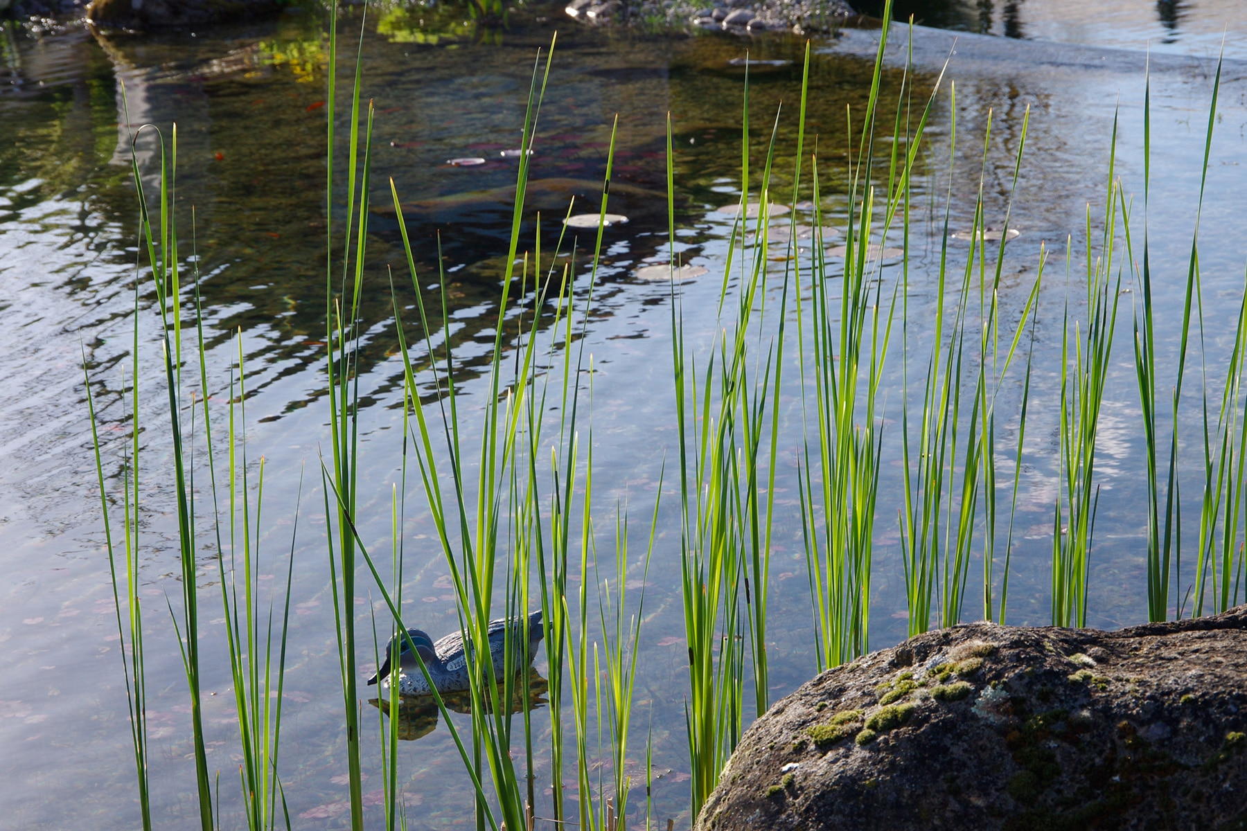 Bassin à poisson – koï
